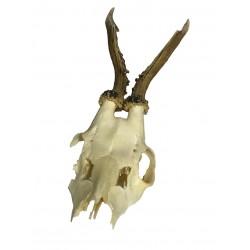 Frontin de venado con cráneo